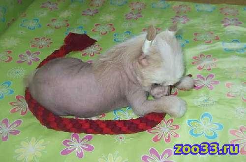 Высокопородного голого щенка китайской хохлатой собачки (на фото он), бронзового окраса , перспективного для выставок и разведения,.. . - Фото 1