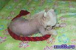 Высокопородного голого щенка китайской хохлатой собачки (на фото он), бронзового окраса , перспективного для выставок и разведения,.. .