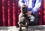 Продам щенков Кане Корсо тигрового окраса. Родословная РКФ, прививки по возрасту.