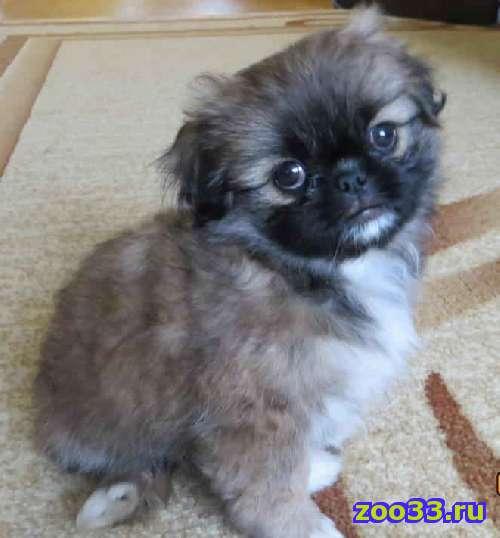 продам щенка пекинеса, девочка, 2 месяца, 6000 - Фото 1
