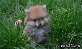 Милые медвежатки шпица