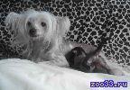 Голую миниатюрную девочку китайской хохлатой собачки, шоколадного окраса!!!