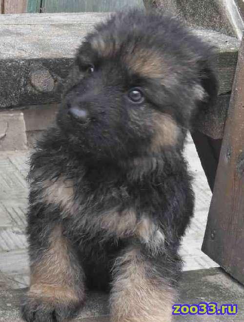 Длинношерстный щенок НО - Фото 1