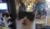 Отдам в хорошие руки котят-мальчиков, братья, 3 месяца. Мать-Ангорка. Котят зовут Тема и Сема. Приучены к лотку, неприхотливы в.. .