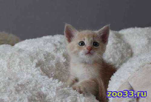 Котик - симпатяга, возваст 1.5 месяца, от домашней ангорской кошки, ищет доброго хозяина. К туалету приучун, кушает все, общительный,.. . - Фото 1