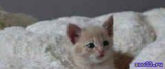 Котик - симпатяга, возваст 1.5 месяца, от домашней ангорской кошки, ищет доброго хозяина. К туалету приучун, кушает все, общительный,.. .