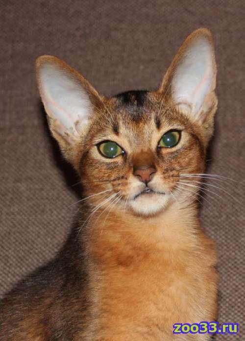 Абиссинский котик - Фото 1