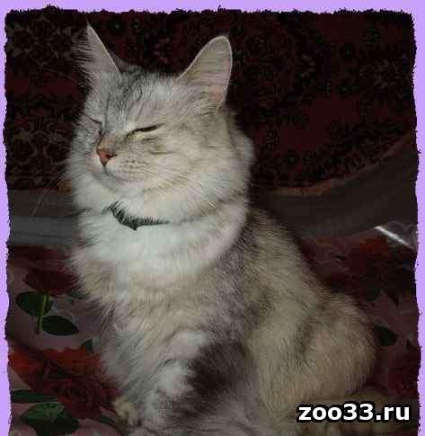 Метис перса и сибиряка, красивая умная взросла кошка ищет новый дом. Муся не навязчива, стерильна, лоточек отлично. Любит что бы ей чесали.. . - Фото 1