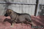 СРОЧНО!!!Продаются ЭЛИТНЫЕ щенки восточно-европейской овчарки!БУДУ БЛАГОДАРНА ЗА РЕПОСТ!!! МАТЬ: - 2хСС (сертификат соответствия) - Юный.. .