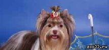 Продаюся щенки йоркширского терьера. бивер йорка-трехцветный йорк. золотой йорк-голддаст.