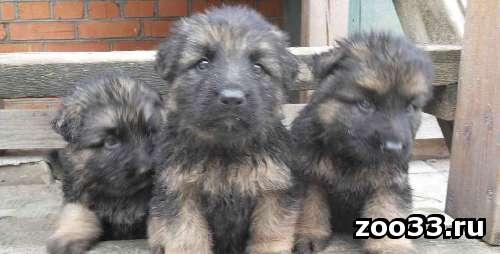 щенки немецкой овчарки 1 мальчик. на видео 1 из трех медвежат. - Фото 1