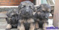 щенки немецкой овчарки 1 мальчик. на видео 1 из трех медвежат.