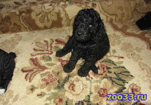 Продаются щенки карликового пуделя. Родились 10.08.2013. (На последних фото - папа и мама) - Фото 1