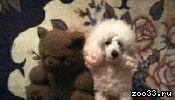 Продаются щенки карликового пуделя. Родились 10.08.2013. (На последних фото - папа и мама)
