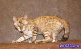 бенгальский котик, снежного пятнистого окраса. Ben n 24 32