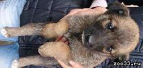 Отдадим щеночков в хорошие руки! от домашней собаки! умные и ласковые! дворянка+сторожевая. плата символическая. возможна доставка.