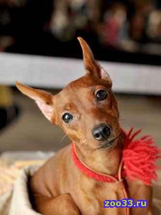 Порода: Цвергпинчер По комичной внешности мин-пина никак не скажешь, что эта собака обладает гордостью и чувством собственного достоинства... . - Фото 1