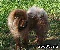 30.08 Пропала собака породы Чау Чау , девочка, орас рыжий, лохматая, возраст 2 года. На животе есть клеймо клуба. Зовут Нюша. Последний.. .