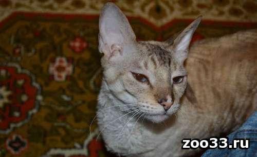 Кошка Марго породы корниш-рекс ищет жениха для вязки. - Фото 1