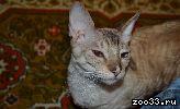 Кошка Марго породы корниш-рекс ищет жениха для вязки.