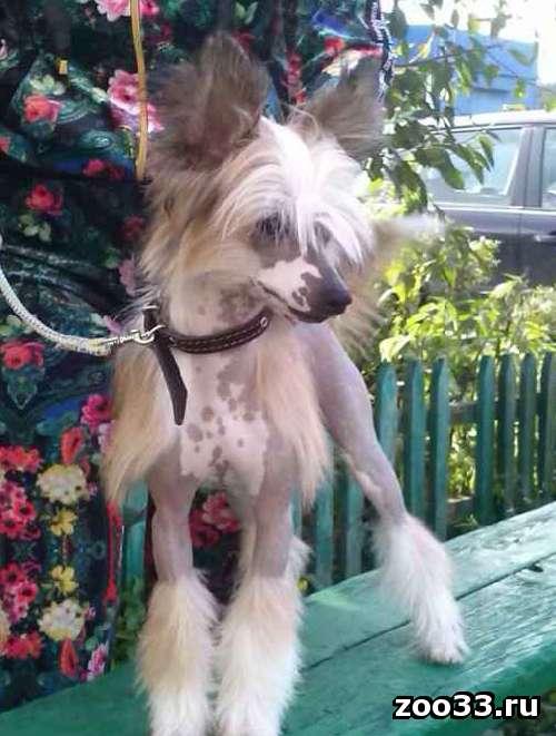 Продается подрощенный голый щенок китайской хохлатой собаки от элитных производителей польско-американских кровей. Очень перспективен для.. . - Фото 1