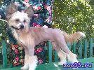 Продается подрощенный голый щенок китайской хохлатой собаки от элитных производителей польско-американских кровей. Очень перспективен для.. .