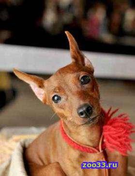 Порода: Цвергпинчер По комичной внешности мин-пина никак не скажешь, что эта собака обладает гордостью и чувством собственного достоинства.... - Фото 1