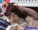 Порода: Цвергпинчер По комичной внешности мин-пина никак не скажешь, что эта собака обладает гордостью и чувством собственного достоинства....