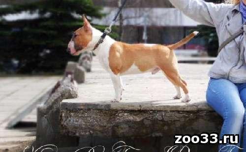 Питомник предлагает подрощенного щенка миниатюрного бультерьера - Фото 1