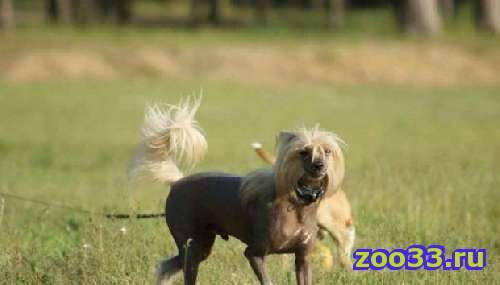 Питомник Файн Голд предлагает для вязки шикарного титулованного кобеля китайской хохлатой собаки - Фото 1