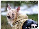 Питомник Файн Голд предлагает для вязки шикарного титулованного кобеля китайской хохлатой собаки
