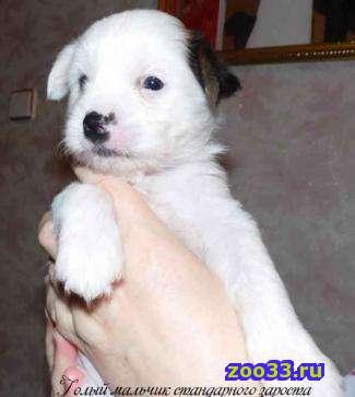 Продаются щенки китайской хохлатой собаки недорого. Две девочки (голая и пуховая) и голый мальчик. Звоните и приходите в гости знакомится с... - Фото 1