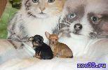 Маленькие собачки метисики. Папа чихуа, мама йорк. Две рыжие девочки и мальчик чёрно-подпалый. Привиты по возрасту. Самостоятельные, очень...
