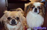Пекинеса щенки, мальчики и девочки, рожденные 23 августа, без родословной, продаю