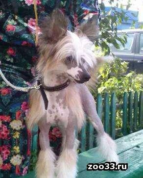 Продается подрощенный голый щенок китайской хохлатой собаки от элитных производителей польско-американских кровей. Очень перспективен для... - Фото 1