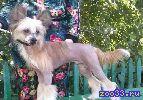 Продается подрощенный голый щенок китайской хохлатой собаки от элитных производителей польско-американских кровей. Очень перспективен для...