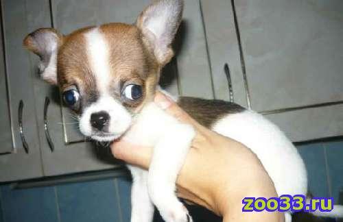 Очень ласковый щенок!!!!!!! приучен к туалету, прививочный паспорт в наличии, интересный окрас, цена указана с учетом скидки! - Фото 1