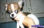 Очень ласковый щенок!!!!!!! приучен к туалету, прививочный паспорт в наличии, интересный окрас, цена указана с учетом скидки!