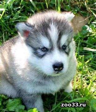 Сибирской хаски щенков - Фото 1
