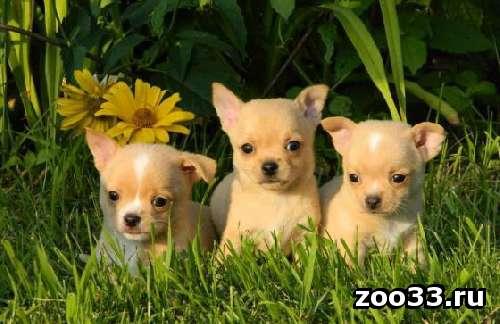 Красивые щенки чихуа-хуа, возраст 2,5 мес. Привиты по возрасту. Документы. - Фото 1