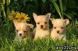 Красивые щенки чихуа-хуа, возраст 2,5 мес. Привиты по возрасту. Документы.