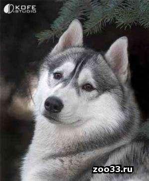Вязка. Сибирская хаски кареглазый мальчик, серо-белого (волчьего) окраса приглашает невест. Документы есть. торг уместен. - Фото 1