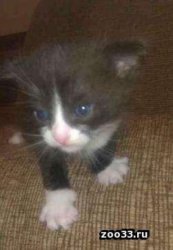 Продаю котят британской вислоухой. Папа прямоухий. Котята получились прямоухие. - Фото 1