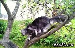 Предлагается молодой, красивый котик Мейн Кун окрас черный дым, хорошая родословная, отличное описание судей, (постав ушек лучше чем на...