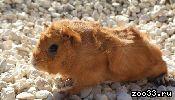 Продам четырёх морских свинок (всех или по отдельности). 3 самки, 1 самец (коричневый розетчатый). Белая и коричневый - 8 мес., рыжая и...