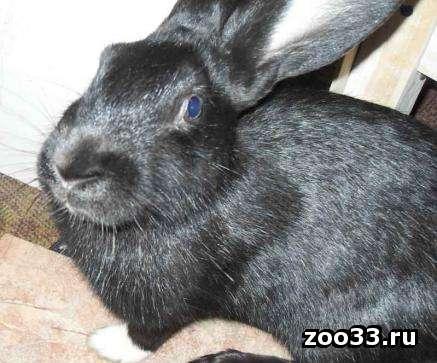 продаю кролика 2,5 кг - Фото 1