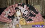 Очаровательные голые девочки китайской хохлатой рожденные 16.07.13, привиты, с клеймом, с родословной РКФ. Малышки очень активны,...