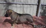 СРОЧНО!!!Продаются ЭЛИТНЫЕ щенки восточно-европейской овчарки!БУДУ БЛАГОДАРНА ЗА РЕПОСТ!!! МАТЬ: - 2хСС (сертификат соответствия) - Юный...