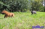 Монопородный питомник Шэн Фу-Син занимается разведением собак породы шар пей с 2004г. У нас на сайте вы можете узнать, Какие щенки имеются в...