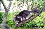 Предлагается на вязку кот Мейн Кун, черный дым, опытный, дает качественное серебро и дым, развязывает, хорошая коробочка, профиль, есть опыт с...